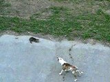 Funny Pets Dog vs Cat The Cat made the Dog run away  Animaux drôles Chien vs chat Le chat a fait fuir le chien