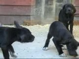 Bébés dogues allemands