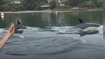 Tierische Trainingspartner: Delfine überraschen Ruderer auf Fluss