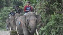 'Policías' de elefantes para proteger los asentamientos humanos de los elefantes salvajes en Indones