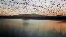 Des milliers d'oies sauvages prennent leur envol en même temps au-dessus d'un lac
