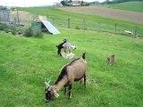 Jeux de chèvres naines
