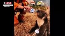 Incendies en Australie : Des cagnottes en ligne, soutenues par de nombreuses personnalités, ont permis de récolter des millions d'euros pour sauver les koalas