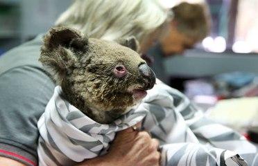 Noticias: Casi 500 millones de animales muertos en incendios de Australia