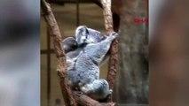 Avustralya'da koala nesli tükenme tehlikesiyle karşılaşabilir