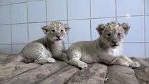 Kayseri Hayvanat Bahçesi'ndeki aslan yavrularına özenle bakılıyor