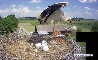 Une cigogne fait tomber volontairement l'un de ses bébés de son nid !