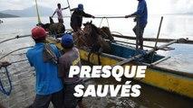 Aux Philippines, des habitants ont risqué leur vie pour sauver des chevaux