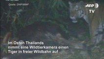 Thailand: Seltener Tiger läuft in Kamerafalle