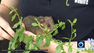 Australia: Animals rescued from bushfires taken in by volunteers