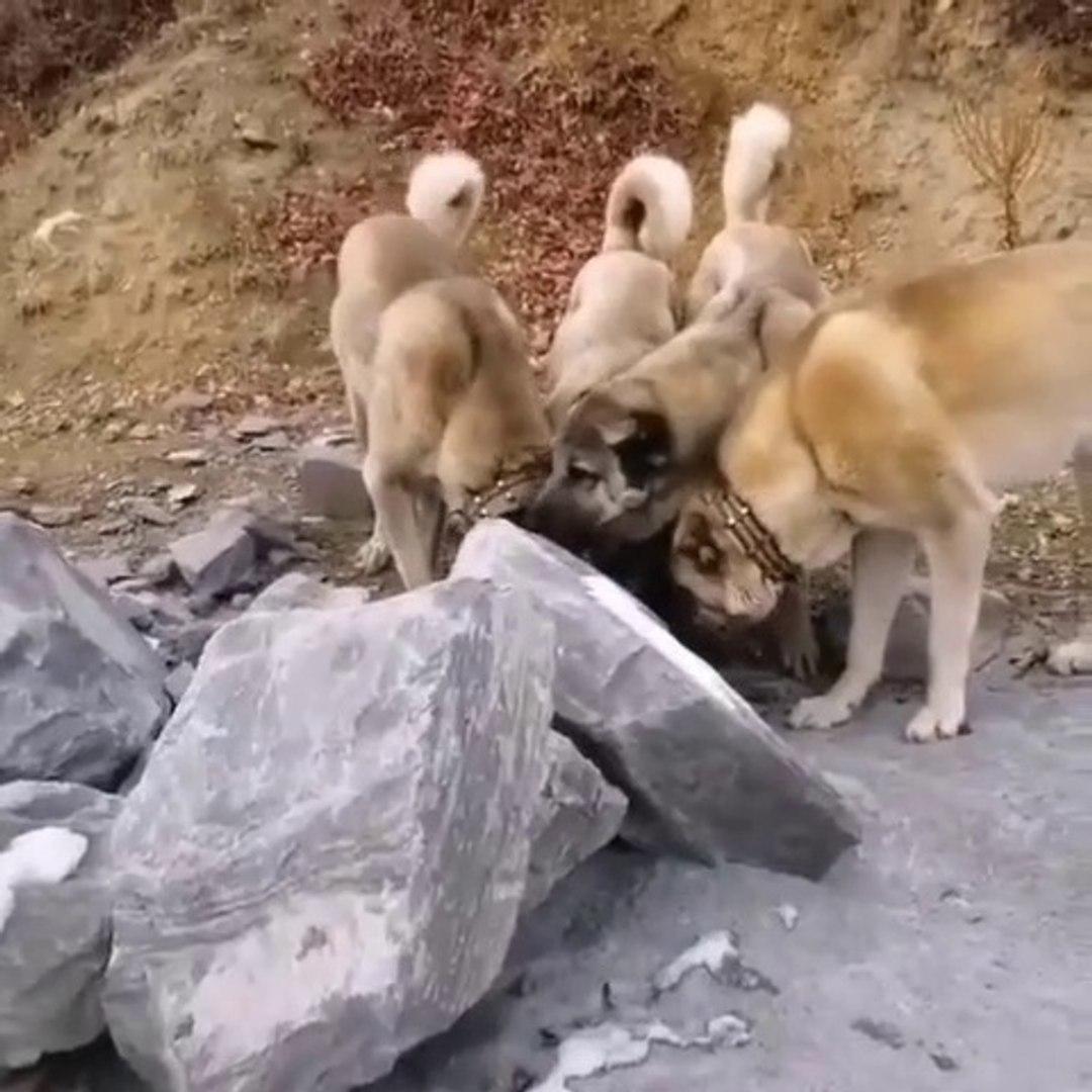 SiVAS KANGAL KOPEKLERi NE ARIYOR - KANGAL SHEPHERD DOGS