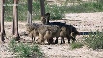 Flock of newborn ostriches in South Africa will melt your heart
