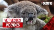 Australie : les koalas décimés par les incendies
