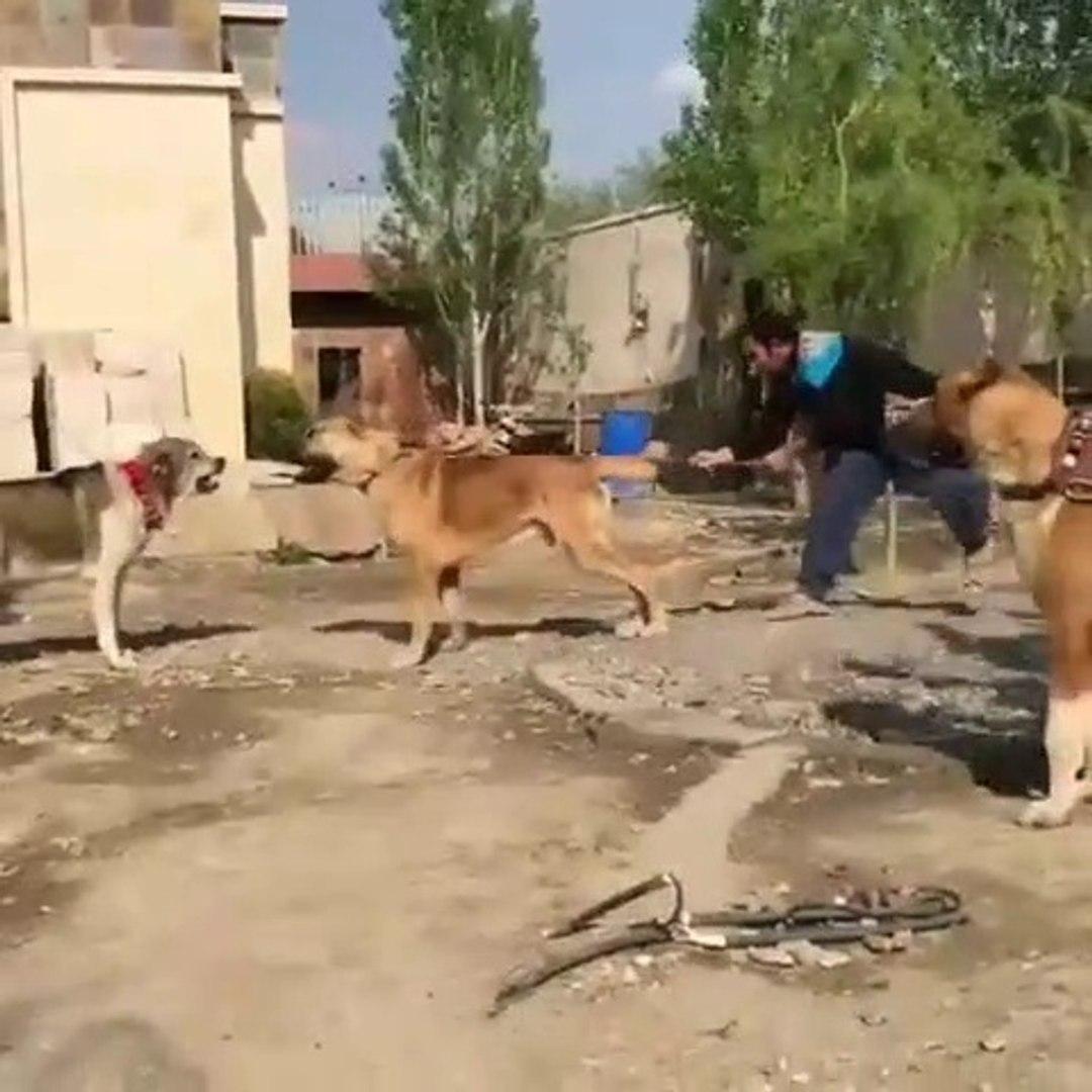 iRAN COBAN KOPEKLERi SERT ATISMA - PERSiAN SHEPHERD DOGS VS