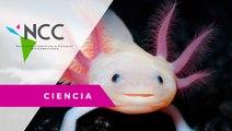 Ajolote mexicano, el monstruo del agua que se enfrenta a la extinción