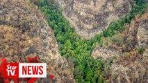 Prehistoric pines survive Australia bushfires