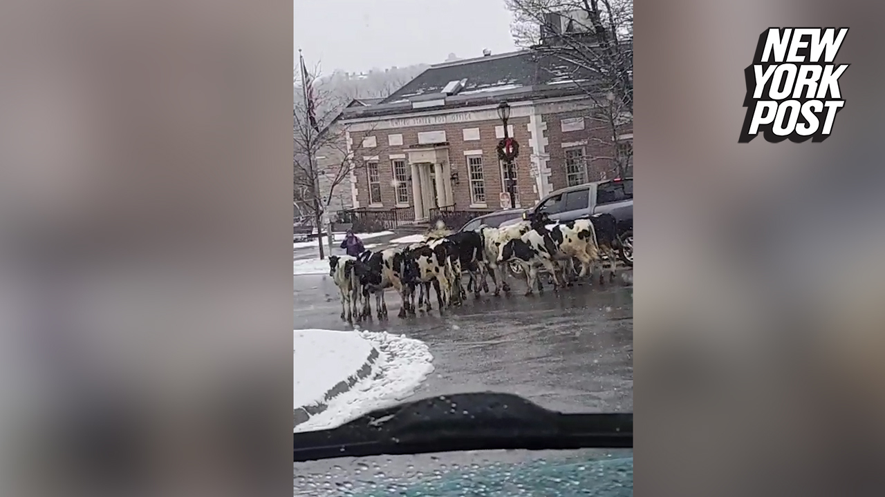 'He's still going!': Cattle worker keeps driving as cows tumble out of truck