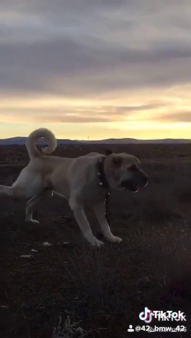 4*4 TARLA SURER MALAKLI COBAN KOPEGi - 4*4 MALAKLI SHEPHERD DOG