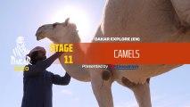 Dakar 2020 - Stage 11 - Camels