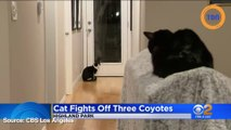 Ce chat ne se laisse pas faire, même face à trois coyotes