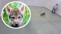Wie Hunde: Auch Wölfe apportieren Bälle