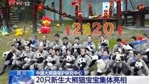 Aufmarsch der Wonneproppen: 20 kleine Pandabären begrüßen das neue Jahr