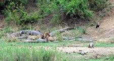 Quand il s'agit de partager un repas, crocodiles et Lions s'entendent bien