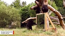 Watch Chimps React To Own Reflection In Mirror