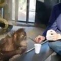 Hilarant  ce petit orang-outan éclate de rire - Il est impossible de ne pas sourire en voyant ce singe s'étouffer de rire lors d'un tour de magie.