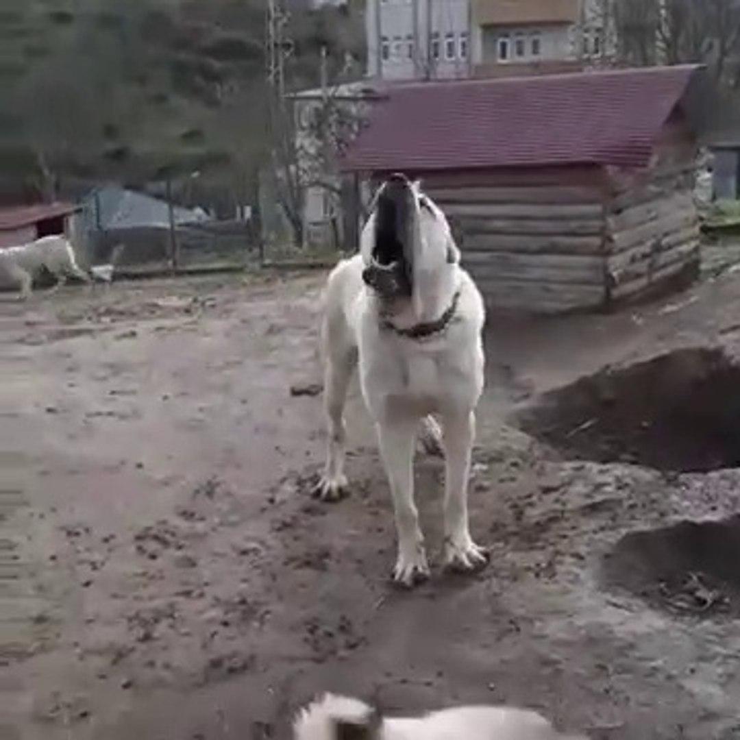 ADAMCI ve SiNiRLi ANADOLU COBAN KOPEGi - ANGRY ANATOLiAN SHEPHERD DOG in GARDEN