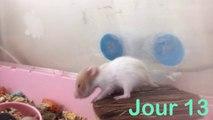 Trop Mignons !! Bebes hamsters de leur naissance a leur sevrage evolution croissance