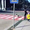 Ce chien veille à la protection des enfants au passage piétons !