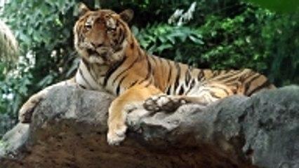 L'accroissement encourageant du nombre de tigres au Népal