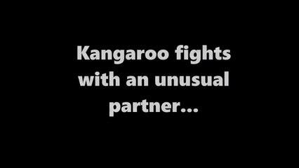 Kangaroo fighting with an unusual partner...