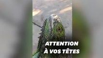 Des iguanes sont tombés du ciel à Miami