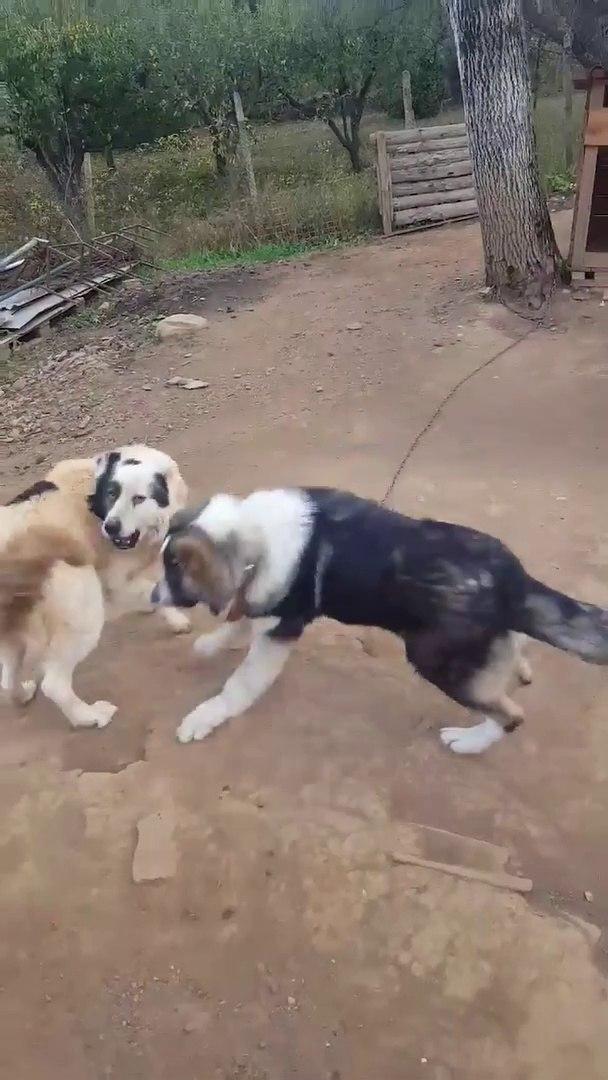 KAFKAS COBAN KOPPEKLERiNiN SEViMLi OYUNLARI - CAUCASiAN SHEPHERD DOGS PLAY GAME CUTE