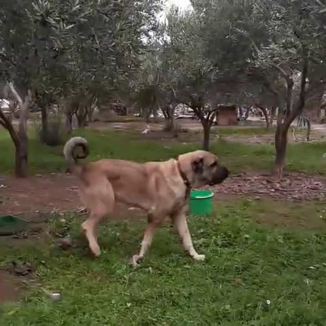 MEKANIN SAHiBi DEV ANADOLU COBAN KOPEGi - GiANT ANTOLiAN SHEPHERD DOG