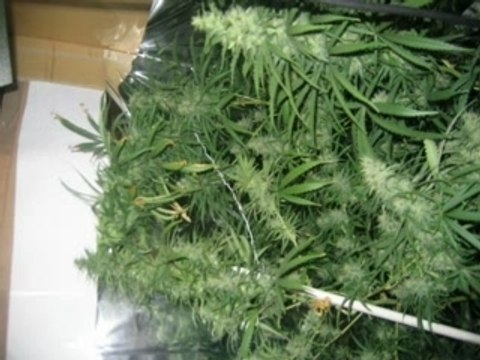 vidéo de cannabis en culture interieure :)