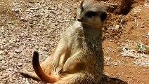 Ce suricate très fatigué est adorable