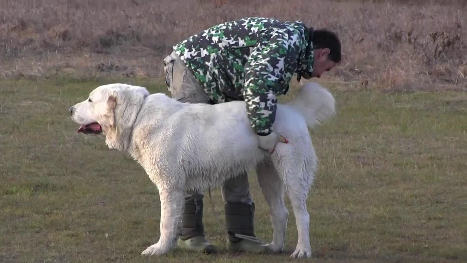 ALABAY COBAN KOPEGi OGLEN GEZiNTiSi - ALABAi SHEPHERD DOG
