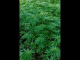 vidéo de cannabis avec que des têtes de beuh !!