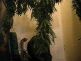 vidéo de cannabis sechage de trois pieds beuh