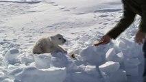 Ils découvrent un bébé ours polaire abandonné sur la banquise