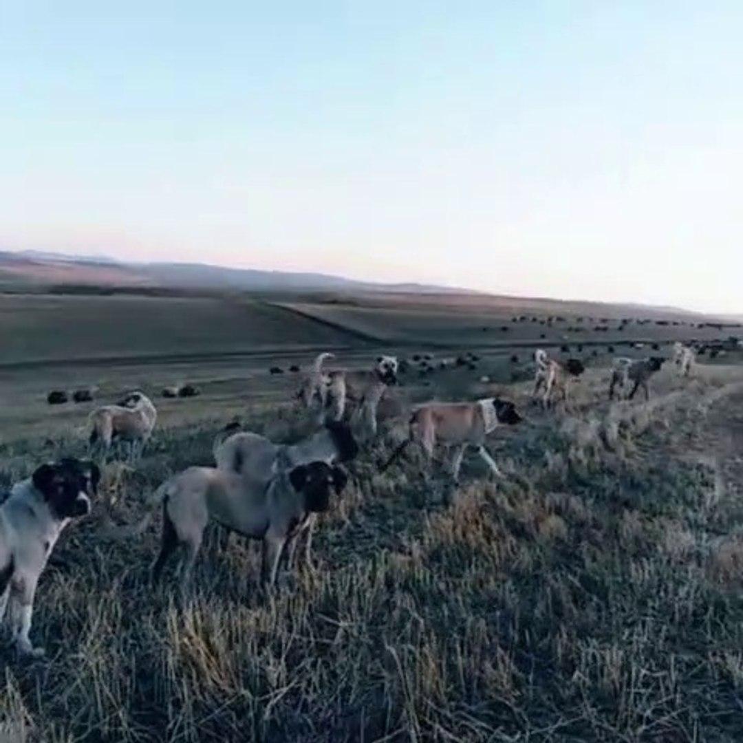 BiR DUZiNE COBAN KOPEGi GOREV BASINDA - ANATOLiAN SHEPHERD DOGS at MiSSiON