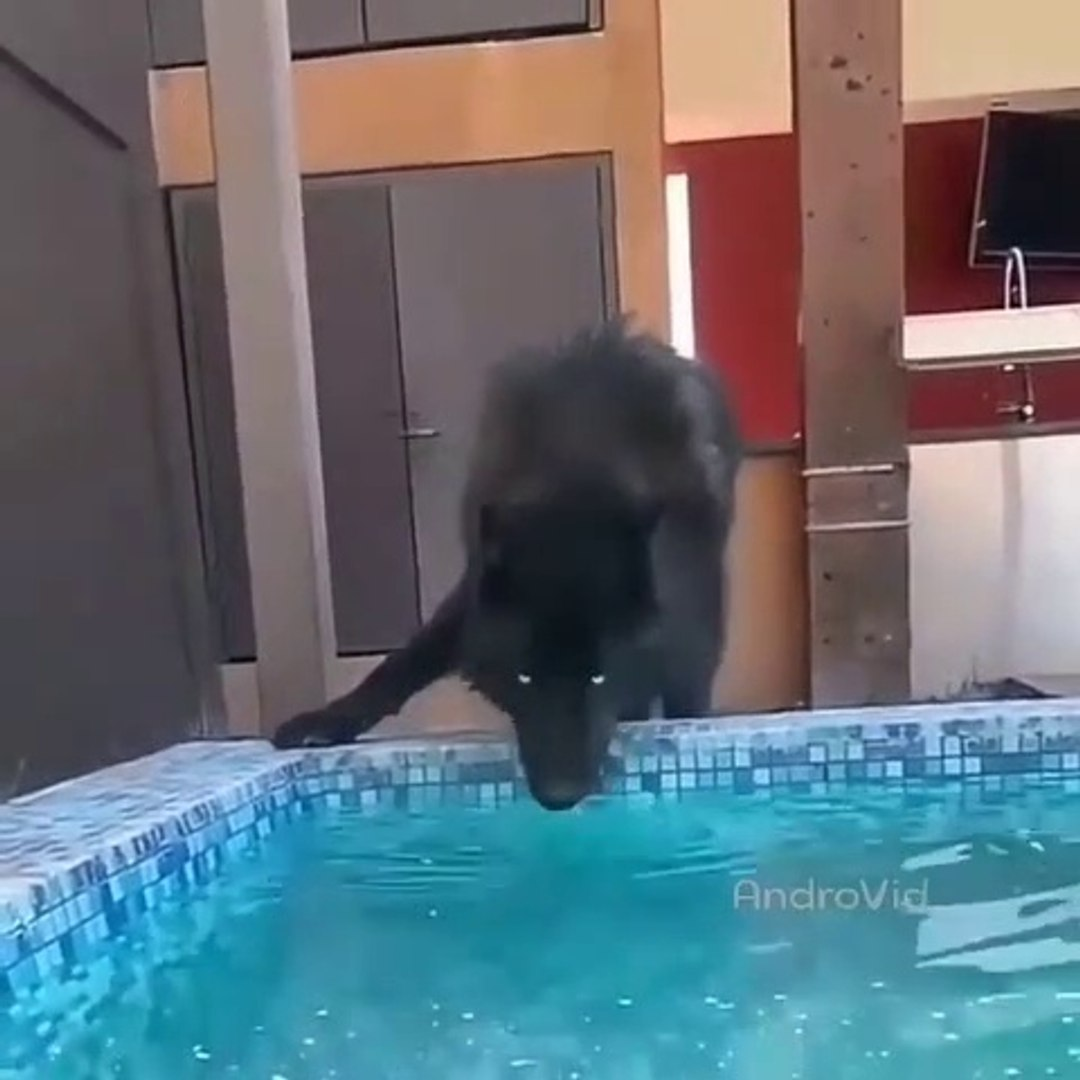 KARA KURT HAVUZ BASINDA - BLACK WOLF at the POOLSiDE