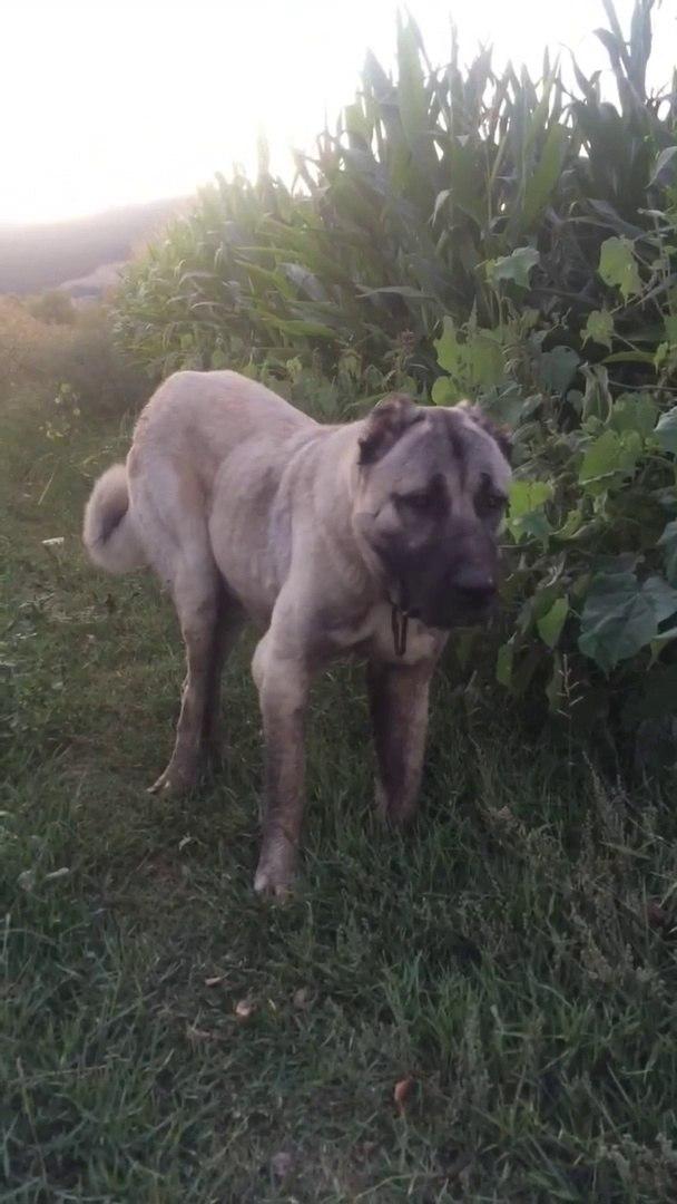 ANADOLU COBAN KOPEKLERi ile AKSAMUSTU GEZiNTiSi - ANATOLiAN SHEPHERD DOGs with WALK