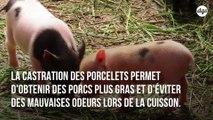 Le broyage des poussins et la castration à vif des porcelets enfin interdits en France d'ici 2021