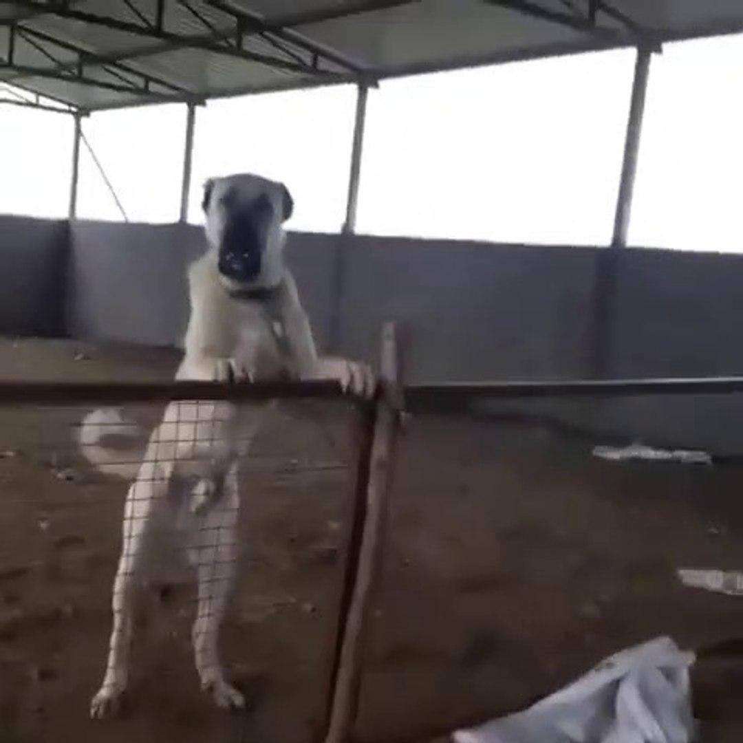 ADAMCI ve SERT ANADOLU COBAN KOPEKLERi - ANGRY ANATOLiAN SHEPJHERD DOGS