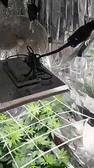 Ostia, lavatoio trasformato in serra di marijuana. 48enne arrestato dalla Polizia