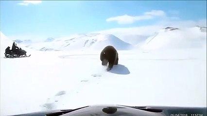 Suivre un ours en motoneige : mauvaise idée !